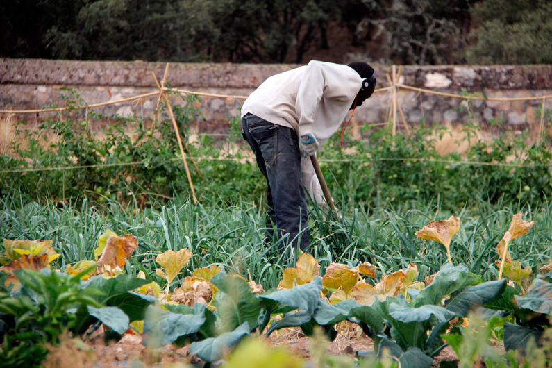 Plantando puerros