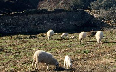 Las ovejas pasean por el huerto
